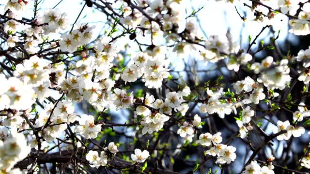 Mandel weiße Blüten