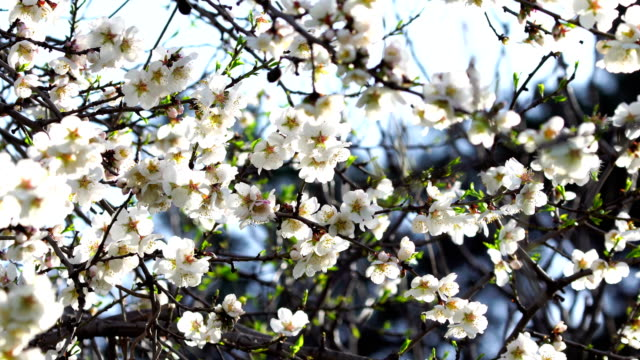 White almond blossoms