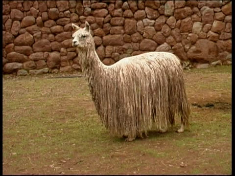 stockvideo's en b-roll-footage met white alpaca, suri, peru - animal hair