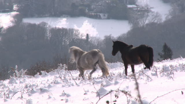 white and black ponies running through snow, dartmoor, devon, england - dartmoor stock videos & royalty-free footage