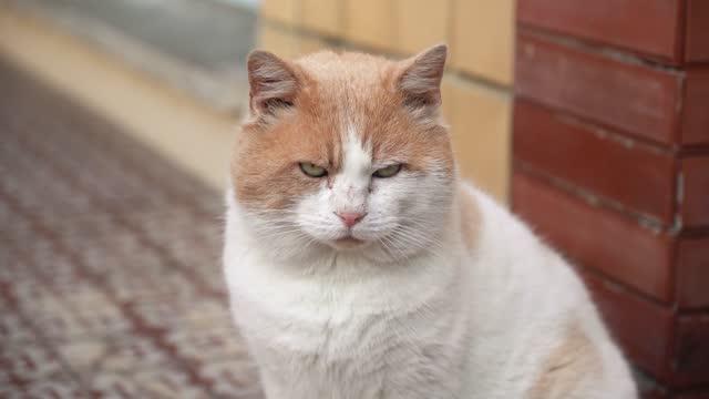白と茶色の猫の肖像画 - ショートヘア種の猫点の映像素材/bロール