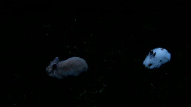 芝生の上の白と茶色のウサギ - 動物の子供点の映像素材/bロール