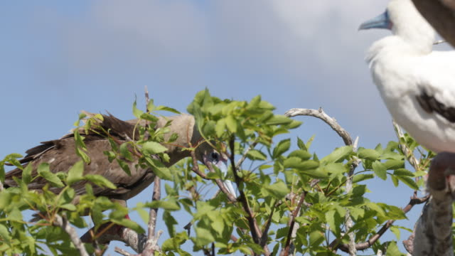 vídeos y material grabado en eventos de stock de white and brown red-footed boobies sitting on a tree, cleaning himself, isla genovesa, galã¡pagos, ecuador - alcatraz patirrojo