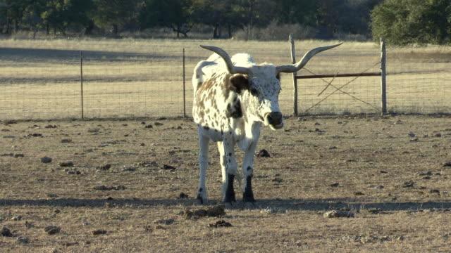 stockvideo's en b-roll-footage met ws white and brown texas longhorn cattle / western texas, texas, usa - texas longhorn