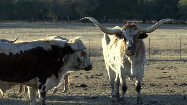 stockvideo's en b-roll-footage met ws white and brown texas longhorn cattle's in fled / western texas, texas, usa - texas longhorn
