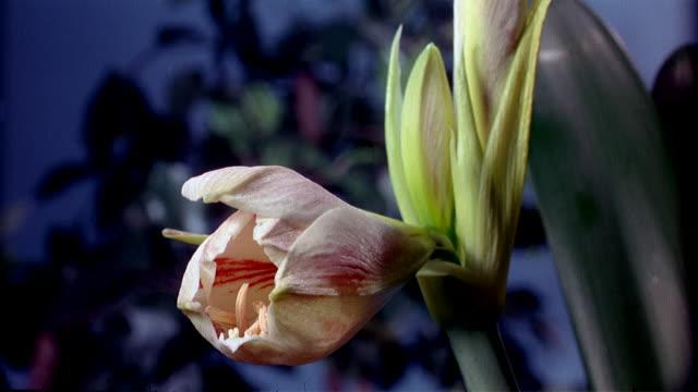 vídeos de stock, filmes e b-roll de cu t/l  white and orange flower bud blooming  / studio city, california, usa - padrão natural