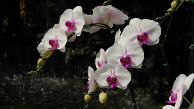 white and pink orchids with waterfall backgrounds. - orchid stock videos and b-roll footage
