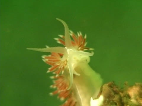 white and red frilly nudibranch - nudibranch stock videos & royalty-free footage