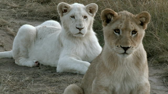 white and tawny lion cub siblings - endangered species stock videos & royalty-free footage