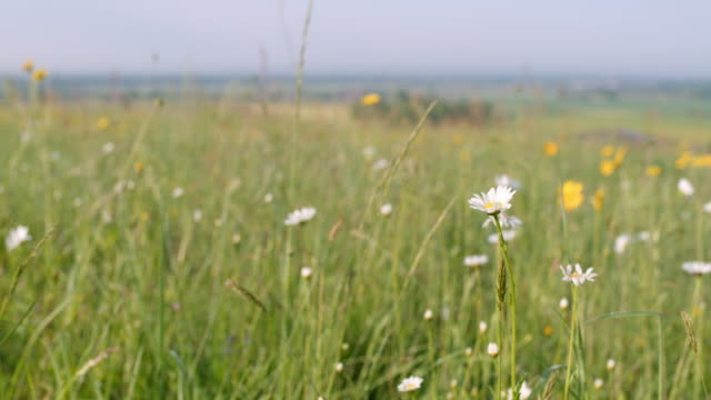ms white and yellow flowers in sunny,idyllic rural field - daisy stock videos & royalty-free footage