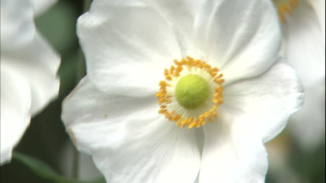 a white and yellow japanese anemone moves in the wind in the garden of the nakaku bluff no.18 house in yokohama, japan. - 揺れる点の映像素材/bロール