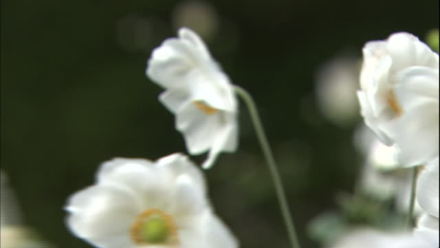 White and yellow Japanese anemones move in the wind in the garden of the Nakaku Bluff No.18 House in Yokohama, Japan.