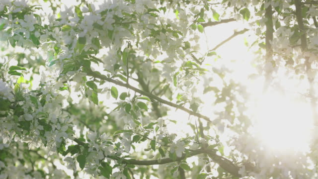 white apple tree blossom in spring - blossom stock videos & royalty-free footage