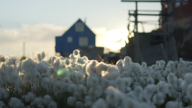 stockvideo's en b-roll-footage met white arctic cotton flowers on field against houses during sunset - disko bay, greenland - katoen