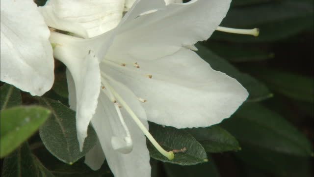 a white azalea flower of a rhododendron boninense shrub stands out against the green leaves. - rhododendron stock videos and b-roll footage
