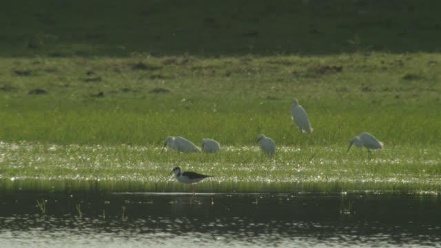 White backed stilt (Himantopus melanurus) and snowy egrets (Egretta thula) feed in shallow water.