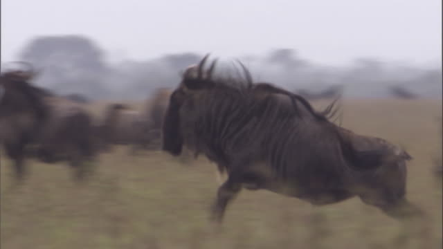 White bearded Wildebeest chases away another wildebeest Available in HD.