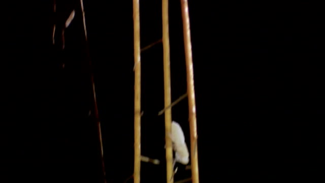 a white beetle crawls down a twig. - twig stock videos & royalty-free footage