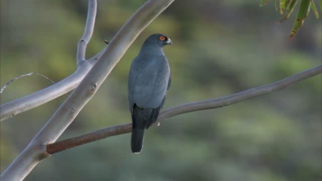 vídeos de stock e filmes b-roll de white bellied goshawk (accipiter haplochrous) drops from tree, new caledonia - territórios ultramarinos franceses