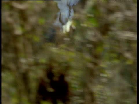 white bellied sea eagle snatches fruit bat straight off of its perch, australia - 鳥の鉤爪点の映像素材/bロール
