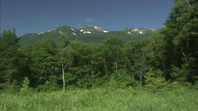 A white birch forest borders Mt. Norikura, Japan.