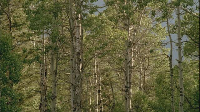 MS, LA, White birch tree (Betula papyrifera) forest, Lake Tahoe, Nevada, USA