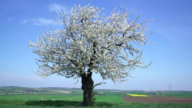 vídeos de stock, filmes e b-roll de árvore de cereja florescendo branco - árvore de folha caduca