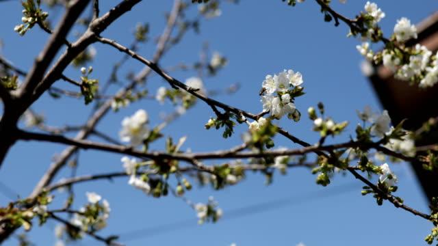 vidéos et rushes de fleurs blanches de fleur sur l'arbre au printemps - branche partie d'une plante