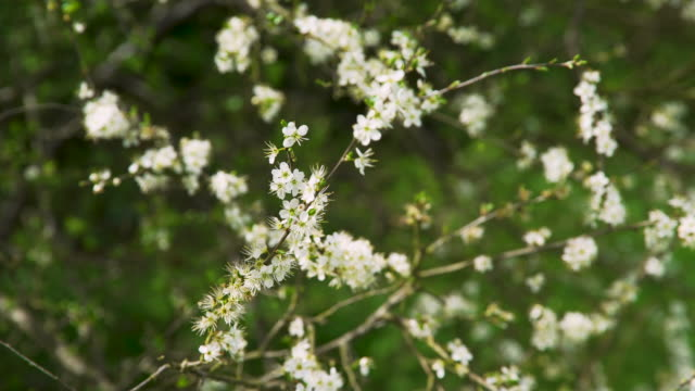 white blossom flowers on tree in spring - blossom stock videos & royalty-free footage