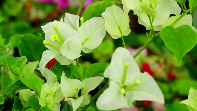 vídeos de stock, filmes e b-roll de bougainvillea branco - arbusto tropical