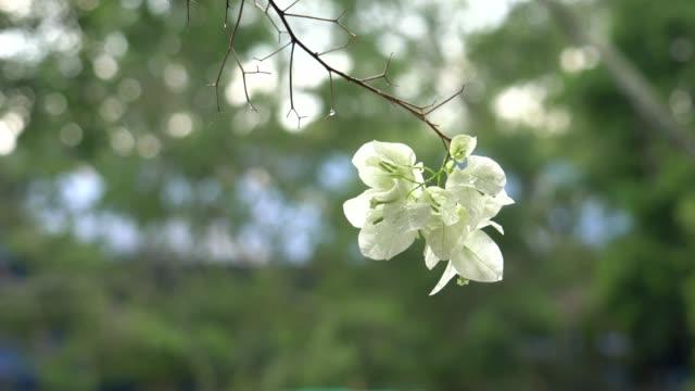 vídeos de stock, filmes e b-roll de white bougainvillea - arbusto tropical