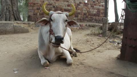 stockvideo's en b-roll-footage met white brahma bull - stier mannetjesdier