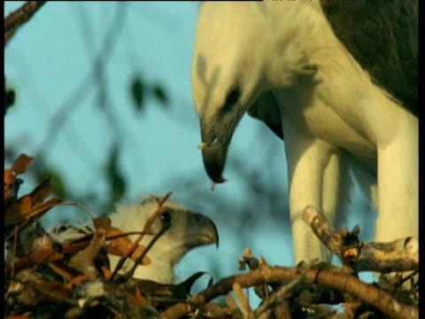 vídeos de stock, filmes e b-roll de white breasted sea eagle feeds chick, australia - vida de bebê