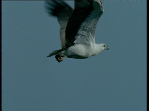 white breasted sea eagle flies past camera, australia - gespreizte flügel stock-videos und b-roll-filmmaterial