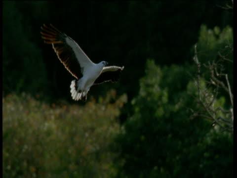white breasted sea eagle lands in tree top, australia - gespreizte flügel stock-videos und b-roll-filmmaterial