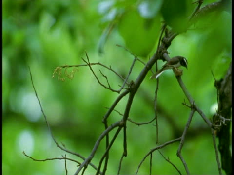 ms white browed fantail landing on branch to build nest, high speed, bandhavgarh national park, india - national icon stock videos & royalty-free footage