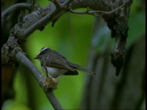ms white browed fantail, rhipidura aureola, on branch, flying off tree, bandhavgarh national park, india - national icon stock videos & royalty-free footage