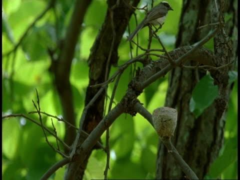 ms white browed fantail, rhipidura aureola, on nest, bandhavgarh national park, india - national icon stock videos & royalty-free footage