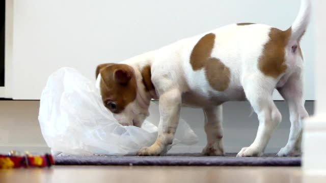 white brown chihuahua puppy eating food from plastic bag - dog tail stock videos & royalty-free footage