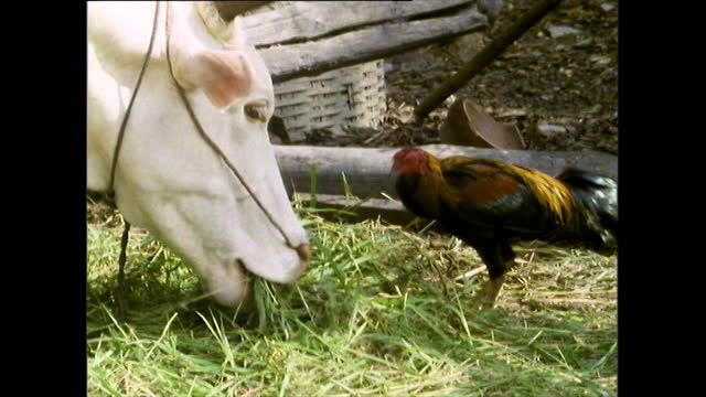 white bull eats grass alongside rooster in chiang mai; 1989 - bridle stock videos & royalty-free footage