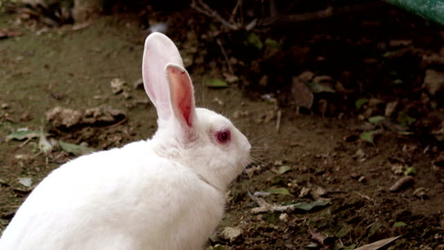 white bunny - animal ear stock videos & royalty-free footage