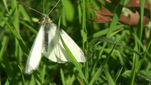 stockvideo's en b-roll-footage met white butterfly on the grass - voelspriet