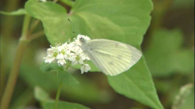 a white cabbage butterfly lights on blooming buckwheat flowers, then flutters away. - buckwheat stock videos & royalty-free footage