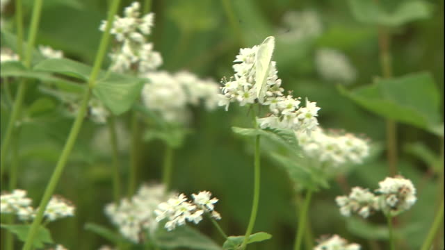 a white cabbage butterfly lights on blooming buckwheat flowers. - 揺れる点の映像素材/bロール