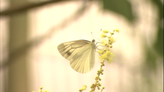 a white cabbage butterfly sucks nectar from a flower. - cabbage stock videos and b-roll footage