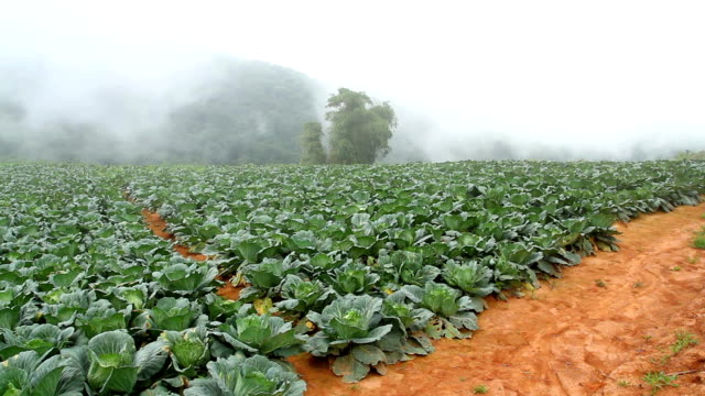 white cabbage field - crucifers 個影片檔及 b 捲影像