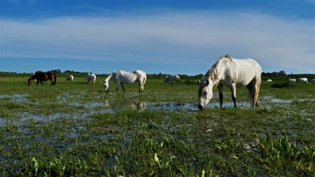 white camargue horse, camargue, france - camargue stock-videos und b-roll-filmmaterial