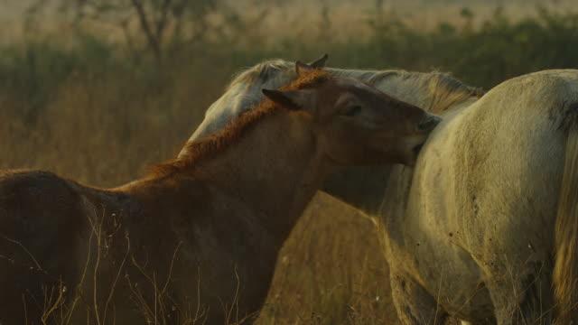 vídeos y material grabado en eventos de stock de cu white camargue horse mutual grooming with brown foal then walking away - acicalarse