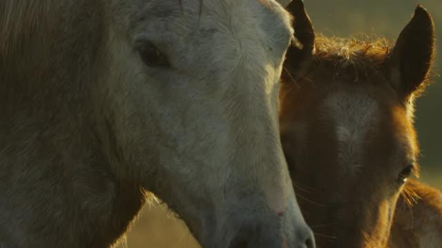 cu white camargue horse mutual grooming with brown foal - 子馬点の映像素材/bロール