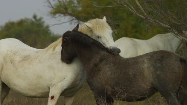 vídeos y material grabado en eventos de stock de ms white camargue horse mutual grooming with large foal - acicalarse